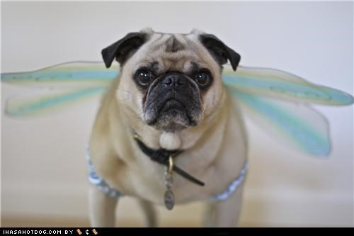clothes costume dogtober dress up fairy fairy princess halloween halloween costume howl-o-ween october pug serious serious business serious job wings - 5247489280