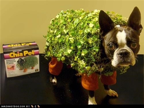 boston terrier,chia,chia pet,clothes,costume,dogtober,dress up,halloween,halloween costume,howl-oween,october