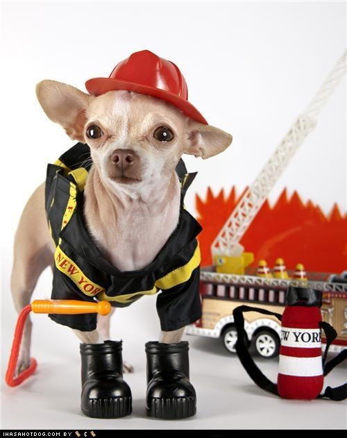 chihuahua clothes costume dogtober dress up FDNY fire fighter fireman halloween halloween costume howl-o-ween new york october