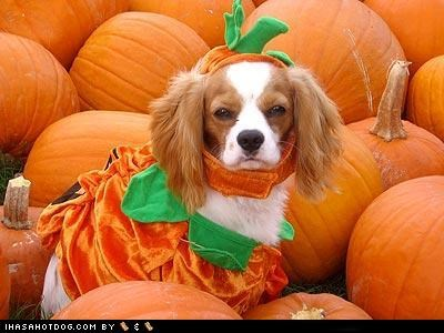clothes,costume,do not want,dogtober,dress up,grumpy,halloween,halloween costume,howl-o-ween,no,october,pumpkins,spaniel,whatbreed