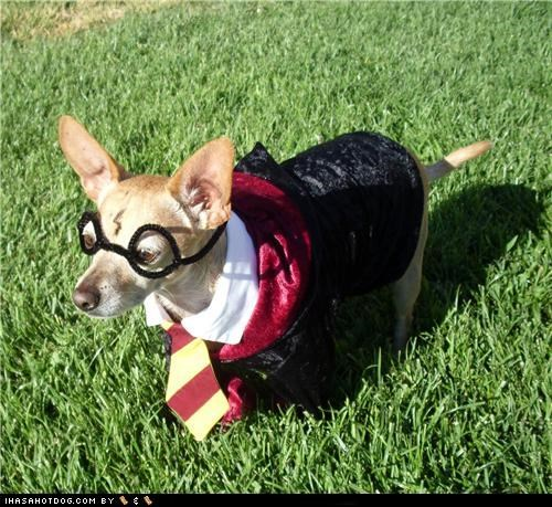 chihuahua clothes costume dogtober dress up glasses hairy pawter halloween halloween costume Harry Potter howl-o-ween october outdoors tie
