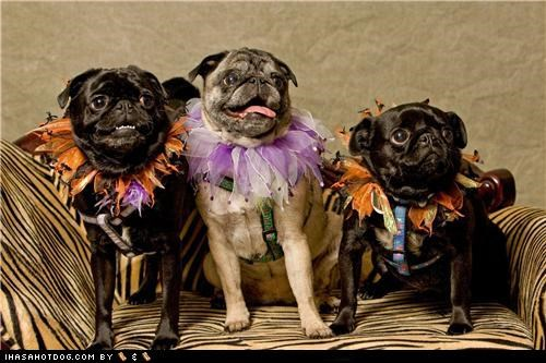 clothes costume couch dogtober dress up halloween halloween costume happy dog happy dogs happy pugoween howl-o-ween october pug pugoween pugs sitting smile smiles smiling - 5247526912