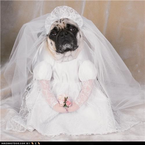 bride clothes costume dogtober dress up halloween halloween costume Here Comes The Bride howl-o-ween october pug wedding wedding dress - 5247563520