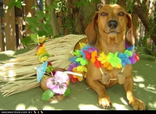 clothes coconut coconut bra costume dachshund dogtober dress up halloween halloween costume Hawaii hawaiian howl-o-ween hula lei october Tropical