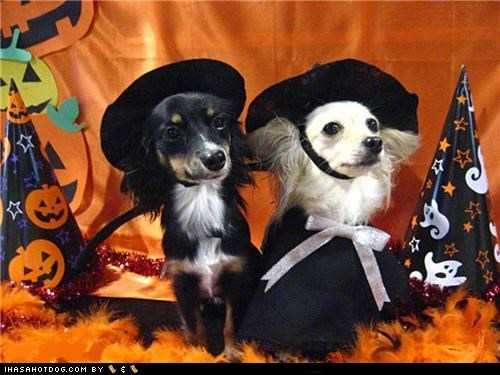 chihuahua clothes costume dogtober dress up halloween halloween costume howl-o-ween witch witch hat Witches - 5247578368