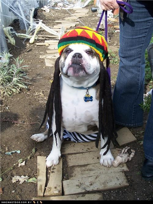 bob marley clothes costume dogtober dreadlocks dreads dress up every little thing is gunna be alright halloween halloween costume howl-o-ween october pit bull pitbull rasta - 5247619328