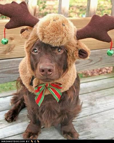 Boykin Spaniel chocoloate lab clothes costume dogtober dress up halloween halloween costume howl-o-ween labrador retriever october reindeer