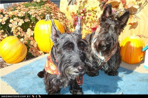 costume dogtober halloween howl-o-ween pumpkins scarf scottie dog scottish terrier