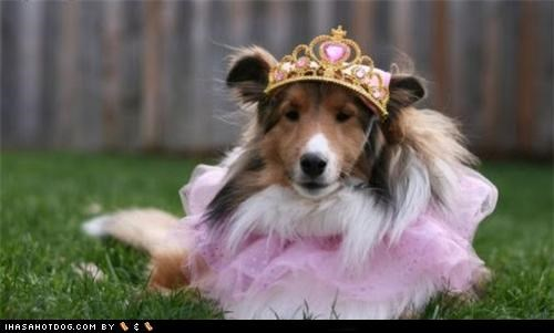 clothes costume crown dogtober dress up halloween halloween costume howl-o-ween october pink princess sheltie shetland sheepdog - 5247630848