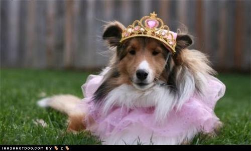 clothes costume crown dogtober dress up halloween halloween costume howl-o-ween october pink princess sheltie shetland sheepdog - 5247630848