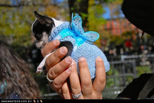 chihuahua clothes costume dogtober dress up fairy halloween halloween costume howl-o-ween october puppy wings - 5247637248