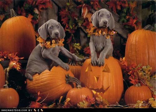 dogtober halloween howl-o-ween october pumpkins puppies puppy weimaraner weimaraners