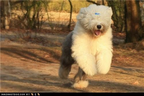 goggie ob teh week happy happy dog old english sheepdog outdoors playing running smile smiles smiling