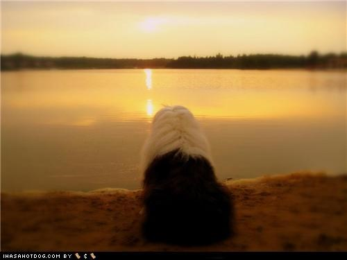 goggie ob teh week,lake,old english sheepdog,relax,sundown,sunset,water