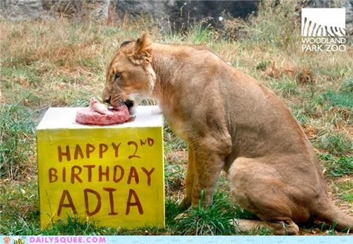 birthday cake celebration lion lioness present two years old woodland park zoo