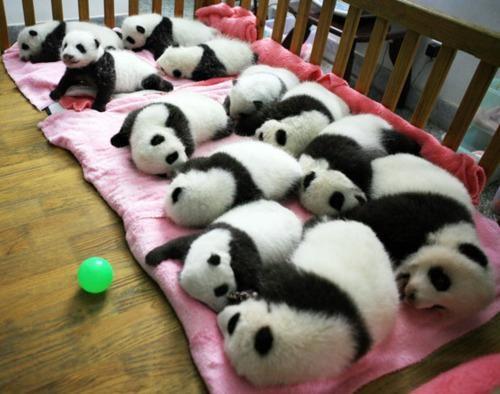 adorable animals,Giant Panda cubs