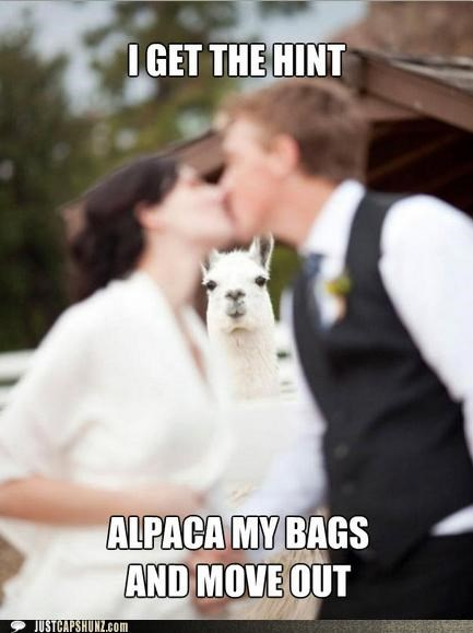 alpacas animals hint I Can Has Cheezburger move out puns relationships - 5248413696