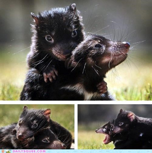 Babies baby Joey joeys Tasmanian Devil tasmanian devils whatsit whatsit wednesday - 5249295360