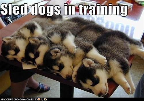 asleep,Conga line,husky,puppies,puppy,sled dogs,sleep,sleeping,training