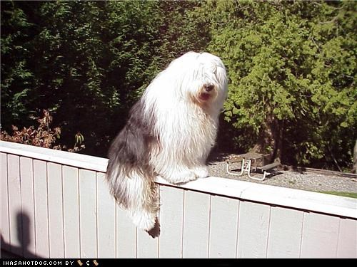 cat-like,fence,goggie ob teh week,like a cat,old english sheepdog,on the fence,silly dog