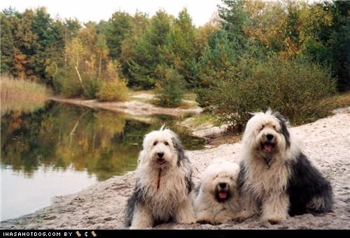 buddies friends friendship goggie ob teh week happy happy dog happy dogs old english sheepdog old english sheepdogs outdoors pals river smile smiles smiling water - 5250992128