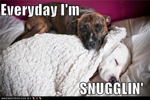 american staffordshire terrier french bulldogs goggie ob teh week pit bull pitbull poll schnauzer u deside weimaraner - 5251094784