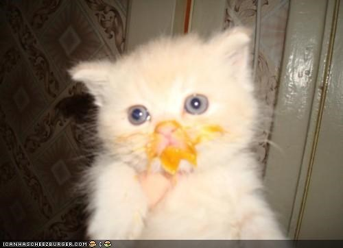cyoot kitteh of teh day eating food gross guilty messy mustard - 5252254208