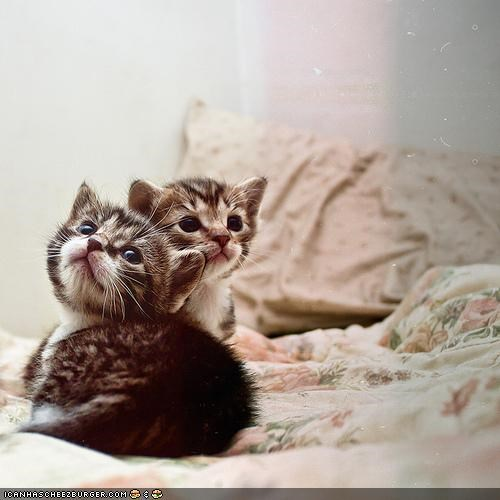bed cute cyoot kitteh of teh day looking up tiny two cats - 5252494080