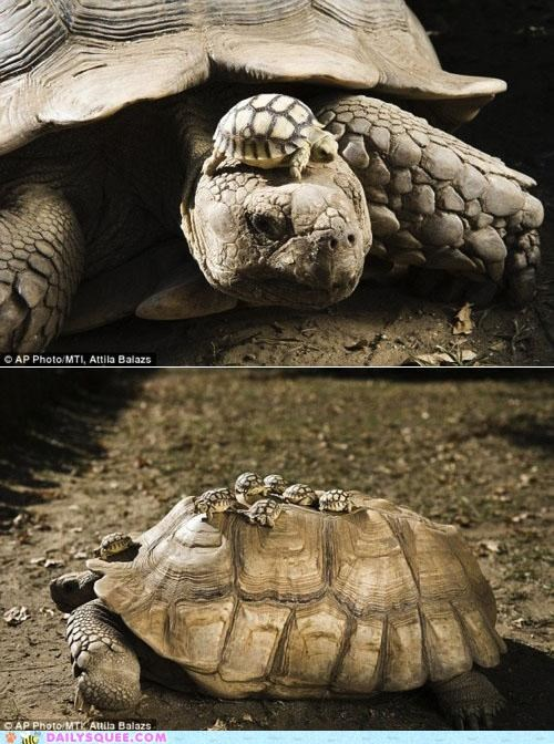 Babies,carrying,Hall of Fame,mother,ride,riding,tortoise