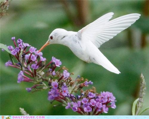albino amazing bird breathtaking Hall of Fame hummingbird photographs rare ruby-throated hummingbird - 5255455232