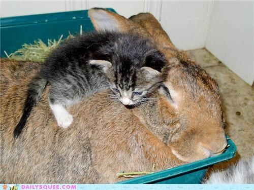 baby bunny caring cat friends friendship giant flemish rabbit Hall of Fame Interspecies Love kitten love protecting rabbit reader squees rescue surrogate - 5255885056