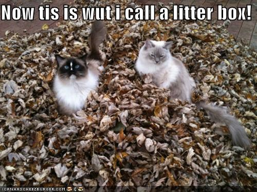 call caption captioned cat Cats himalayan I leaf pile leaves litter box now persian this what - 5255895552