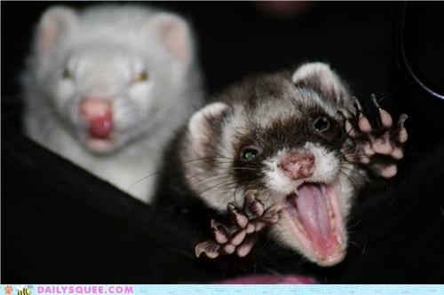 boo,ferret,ferrets,imitation,impression,reader squees,scaring,spooky,trying