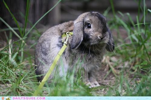 bunny exploring happy bunday leash rabbit walk walking