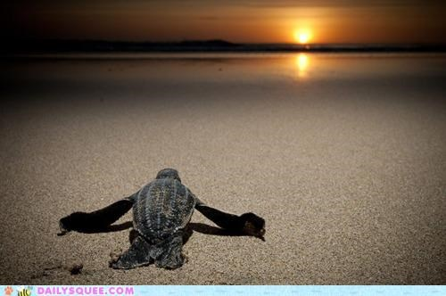 baby,beautiful,beginning,journey,leatherback turtle,scooting,sea turtle,sunset,turtle