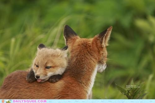 baby carried carrying fox foxes Hall of Fame kit mother riding taunting tongue vixen - 5260651264