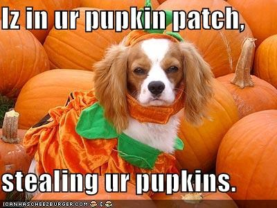 costume dress up halloween halloween 2011 howl-o-ween pumpkins pumpkin patch spaniel whatbreed - 5263422976