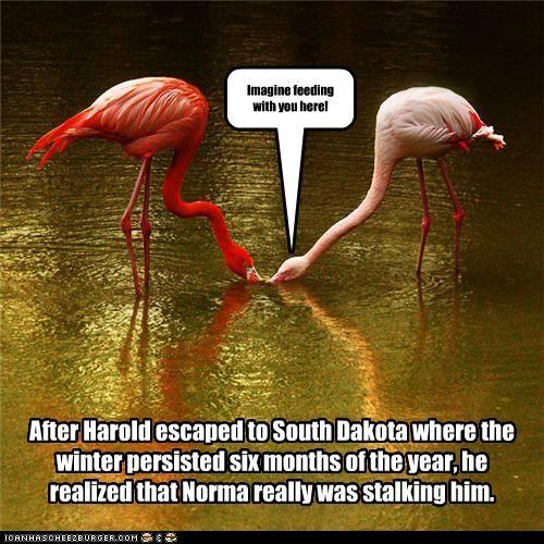 animals birds drinking feeding flamingos I Can Has Cheezburger stalkers stalking - 5264427520