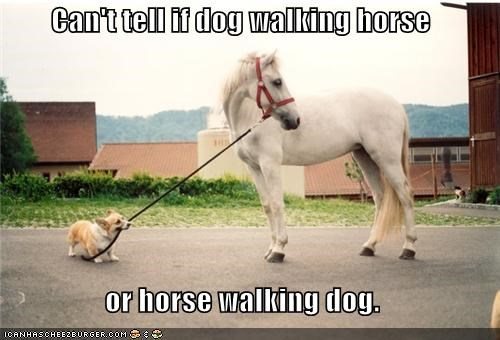 animals cant tell if corgis dogs horses i has a hotdog Memes walking - 5264467968