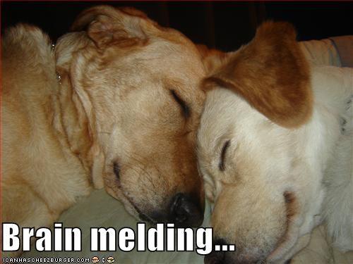 awww brain melding friends labrador retriever labrador retrievers - 5265601024