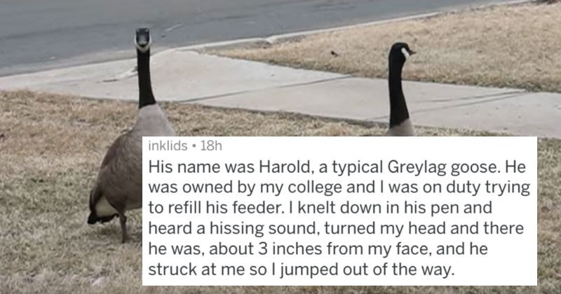 crazy birds geese askreddit ridiculous funny - 5266437