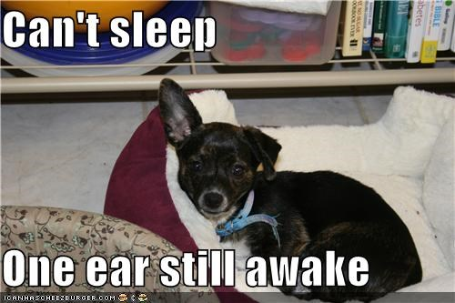asleep,cant-sleep,chihuahua,insomina,mixed breed,sleep,sleeping