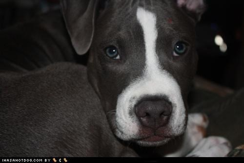 adorbz awww close up face pit bull pitbull sweet - 5270827776