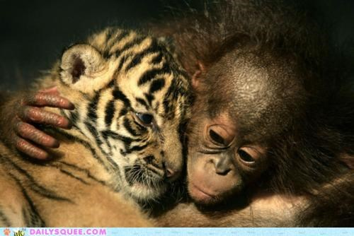 baby cub cuddling friends friendship Hall of Fame Interspecies Love monkey pun tiger - 5270922240