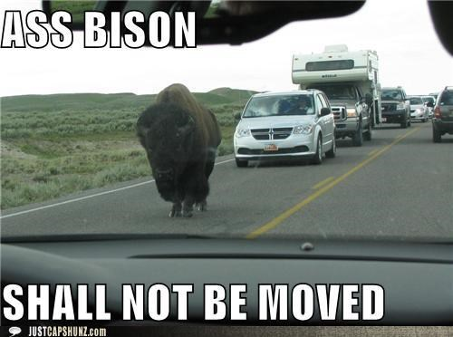 animals,ass,ass bison,bison,cars,Deal With It,get out of the way,I Can Has Cheezburger,rude,traffic