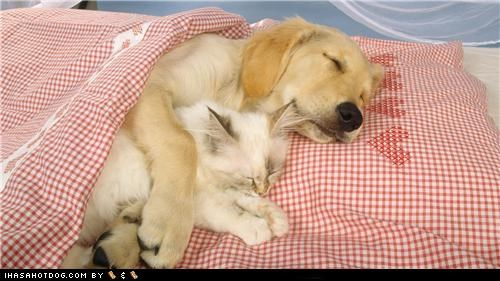 adorbz,asleep,awww,cat,friends,friendship,golden retriever,kittehs r owr friends,kitten,love,nap,sleep,sleeping