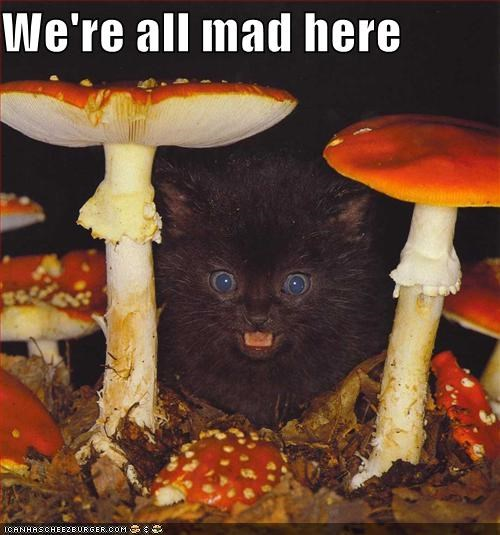 alice in wonderland,cat,crazy,I Can Has Cheezburger,kitten,mad,Mushrooms,were-all-mad-here
