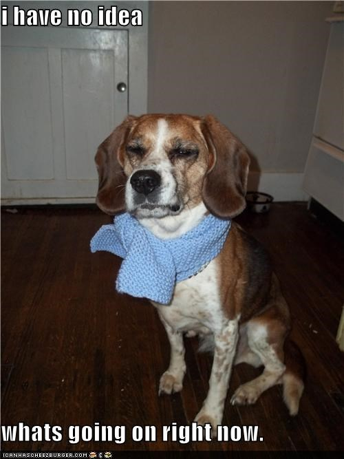 beagle,confused,huh,i-have-no-idea-whats-going-on,mean face,no idea,scarf