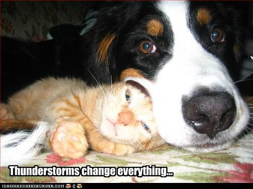 afraid bernese mountain dog cat cuddle friends friendship love protect scared thunderstorm