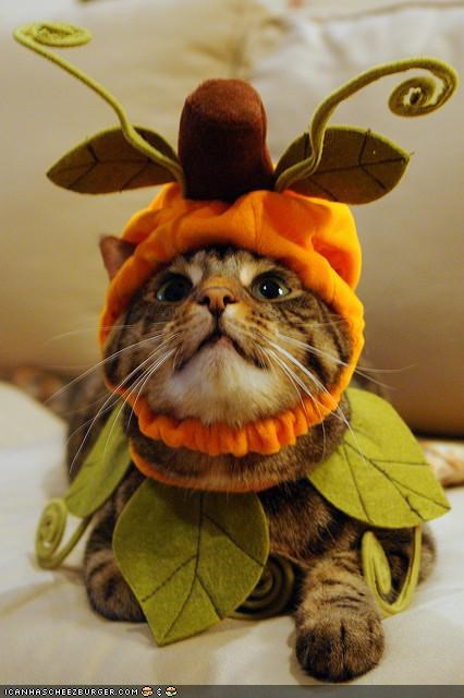 autumn,costume,cyoot kitteh of teh day,dressed up,fall,pumpkins
